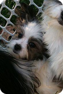 Shiba Inu/Pomeranian Mix Puppy for adoption in Hilliard, Ohio - Gabby