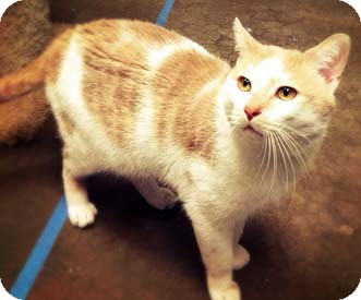 Domestic Shorthair Cat for adoption in Merrifield, Virginia - Pillow Talk