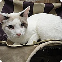 Domestic Shorthair Cat for adoption in MADISON, Ohio - Camilla