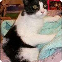 Adopt A Pet :: Cookie - Reston, VA