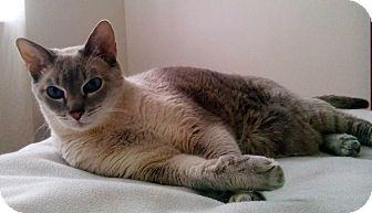 Siamese Cat for adoption in Toronto, Ontario - Snowy