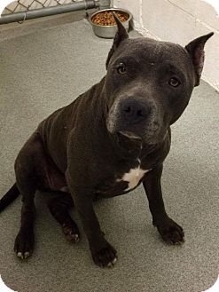 American Pit Bull Terrier/American Staffordshire Terrier Mix Dog for adoption in Covington, Tennessee - Sapphire