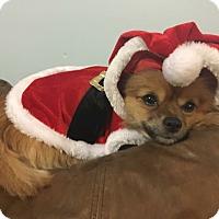 Adopt A Pet :: Cindy - Newtown, CT