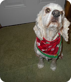 Cocker Spaniel Dog for adoption in Kannapolis, North Carolina - June -Adopted!