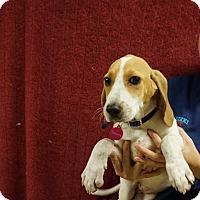 Adopt A Pet :: Contessa - Oviedo, FL