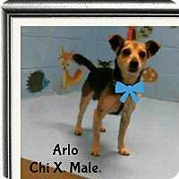 Beagle/Chihuahua Mix Dog for adoption in Barriere, British Columbia - Arlo