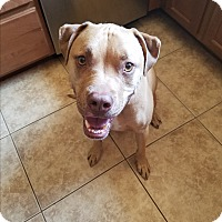 American Pit Bull Terrier/Labrador Retriever Mix Dog for adoption in Cave Creek, Arizona - Buddy