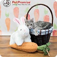 Adopt A Pet :: Rat - Columbus, OH
