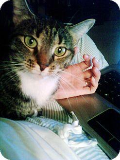 Domestic Shorthair Cat for adoption in Bentonville, Arkansas - Mia