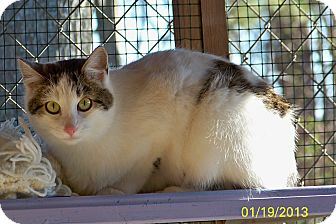 Domestic Shorthair Cat for adoption in Dover, Ohio - Joanie