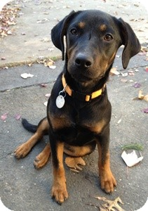 Hound (Unknown Type)/Labrador Retriever Mix Dog for adoption in North Wales, Pennsylvania - Fiona