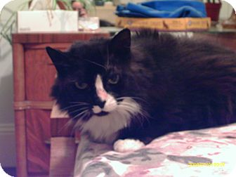 Domestic Mediumhair Cat for adoption in San Francisco, California - Jezebela