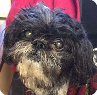 Shih Tzu Mix Dog for adoption in Hurricane, Utah - TATER