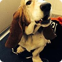 Adopt A Pet :: Kayla - Littleton, CO