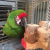 Macaw for adoption in Burleson, Texas - Cuatle