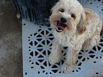 Las vegas nv cockapoo mix meet apollo a dog for adoption for Dog pound las vegas nevada