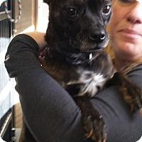 Adopt A Pet :: Cocoa - Franklin, NH