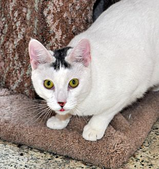 Domestic Shorthair Cat for adoption in West Hartford, Connecticut - Garrett