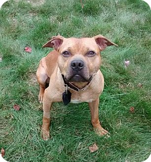 Pit Bull Terrier Mix Dog for adoption in Cranston, Rhode Island - Eastwood (Woody)