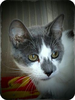 Domestic Shorthair Cat for adoption in Pueblo West, Colorado - Myrna