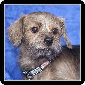 Yorkie, Yorkshire Terrier/Terrier (Unknown Type, Small) Mix Dog for adoption in San Diego, California - Banjo
