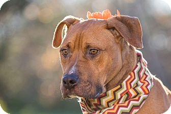 Labrador Retriever/Terrier (Unknown Type, Medium) Mix Dog for adoption in Flint, Michigan - River *