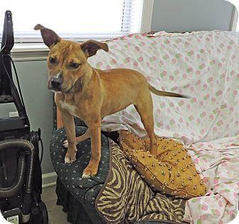 Hound (Unknown Type)/Labrador Retriever Mix Puppy for adoption in Washington, Georgia - Ranger Girl