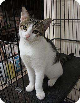 Domestic Shorthair Kitten for adoption in Hamilton, New Jersey - NOOKIE