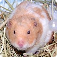 Adopt A Pet :: Hamsters - Brooklyn, NY