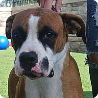 Adopt A Pet :: Bullwinkle - white settlment, TX