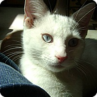 Adopt A Pet :: Snow - Lancaster, MA