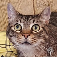 Domestic Shorthair Cat for adoption in Dundee, Michigan - Lily - Adoption Pending