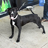 American Staffordshire Terrier Mix Dog for adoption in Detroit, Michigan - Lucy