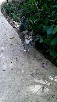 Domestic Shorthair Cat for adoption in Naples, Florida - Ladybug