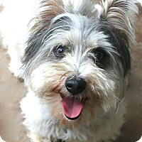 Adopt A Pet :: Billy - Bedminster, NJ