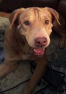 Shar Pei/Golden Retriever Mix Dog for adoption in Scottsdale, Arizona - Amalee