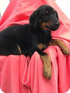 German Shepherd Dog Mix Puppy for adoption in Orland Park, Illinois - FUZZ