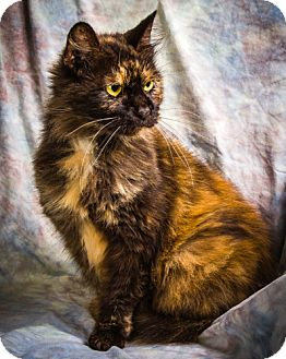 Domestic Longhair Cat for adoption in Anna, Illinois - VFW