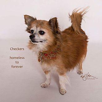 Pomeranian/Chihuahua Mix Dog for adoption in Sherman Oaks, California - Checkers