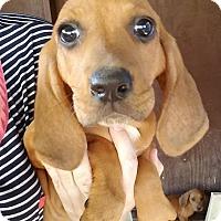 Adopt A Pet :: Patricia - Gainesville, FL