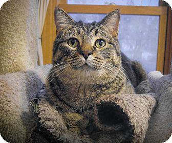 Domestic Shorthair Cat for adoption in Roseville, Minnesota - Duncan(ISO Homebody)