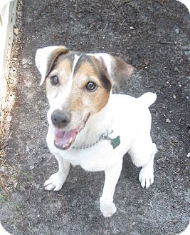 Parson Russell Terrier Mix Dog for adoption in Forked River, New Jersey - Kat