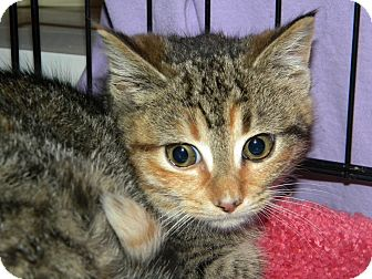 Domestic Shorthair Kitten for adoption in Stafford, Virginia - DeeDee