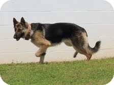 German Shepherd Dog Dog for adoption in Staunton, Virginia - Sydney