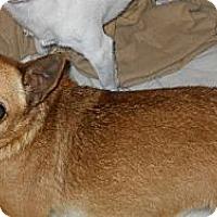 Adopt A Pet :: Chili - dewey, AZ