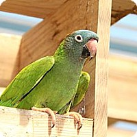 Adopt A Pet :: Bonkers - Burleson, TX