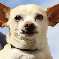 Chihuahua Mix Dog for adoption in Mesa, Arizona - Rookie