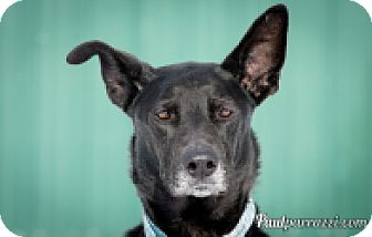 Shepherd (Unknown Type)/Labrador Retriever Mix Dog for adoption in High River, Alberta - Bentley