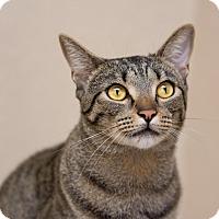 Adopt A Pet :: Charlie III - Fountain Hills, AZ