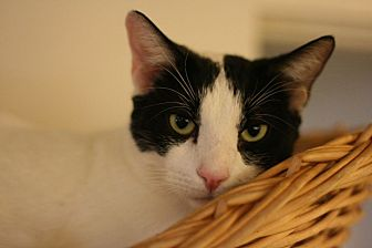 Domestic Shorthair Cat for adoption in Canoga Park, California - Starsky